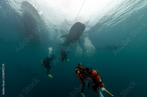фотографія  Whale Shark underwater approaching a scuba diver in the deep blue sea similar to