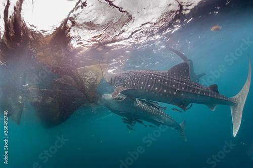 фотографія  Whale Shark close encounter in west papua cenderawasih bay