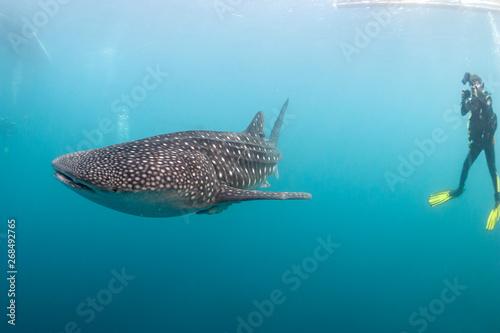 Whale Shark underwater approaching a scuba diver in the deep blue sea similar to Принти на полотні