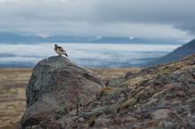 The Rock Ptarmigan (Lagopus Muta) Looking At Glaciar Landscape In Iceland
