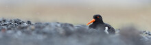 Breading Oystercatcher In The ...
