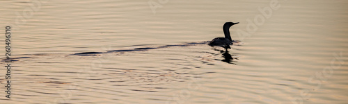 Fototapeten Natur The red-throated loon (North America) or red-throated diver (Britain and Ireland) (Gavia stellata)