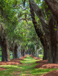 Leinwandbild Motiv A lane of old oak trees over a grassy field in the southern United States