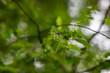 Młody owoc drzewa