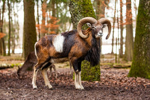 Mouflon Male (Ovis Musimon) With Big Curvy Horns In The German Forest.