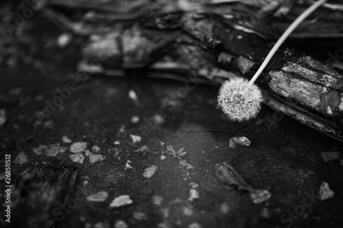 Dmuchawiec czarno biały kolor na drzewie - 268511512
