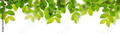 Green leaves isolated on a white background