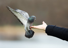 Feral Pigeon Landing On A Hand