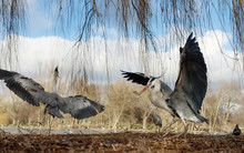 Close-up Of A Grey Herons With Open Wings In Wetlands
