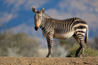 canvas print picture Cape mountain zebra (Equus zebra) in natural habitat, Mountain Zebra National Park, South Africa.