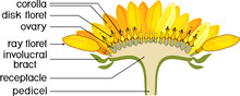 Structure Of Flower Of Sunflower In Cross Section. Diagram Of Flower Head Or Pseudanthium. Parts Of Sunflower With Titles