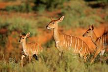 Female Nyala Antelope (Tragelaphus Angasii) With Young Lamb, Mokala National Park, South Africa.