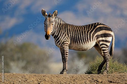 Fototapeta Cape mountain zebra (Equus zebra) in natural habitat, Mountain Zebra National Park, South Africa. obraz