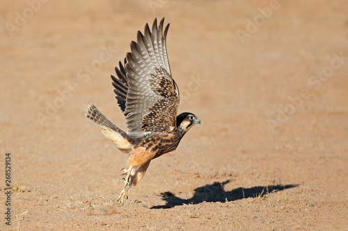 Photo  A lanner falcon (Falco biarmicus) in flight, South Africa.