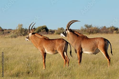 Foto op Aluminium Antilope A pair of rare roan antelopes (Hippotragus equinus) in natural habitat, South Africa.