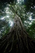 Giant Ficus Tree In Tangkoko N...