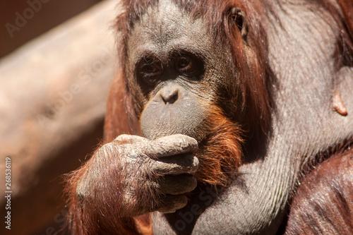 hembra de Orangután adulta Canvas Print