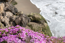 Purple Ice Plant Blossoms Cling To A  Cliff.  Surf, Beach And Rocks Out Of Focus Below.  Sunny Summer Afternoon.  Native To South Africa, The Drought Tolerant Plant Is Common In Northern California.