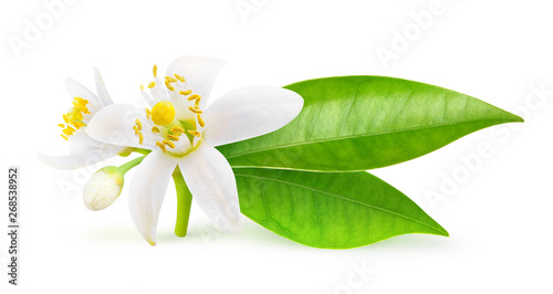Isolated orange flowers. Blossoming branch of orange tree isolated on white background with clipping path - 268538952