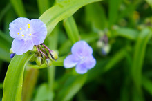 Tradescantia Virginiana Virginia Spiderwort Green Plant With Blue Flowers