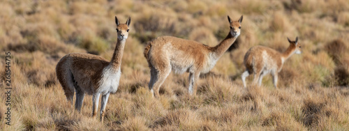 Fototapeta Curious group of Vicuñas in the Bolivian altiplano obraz