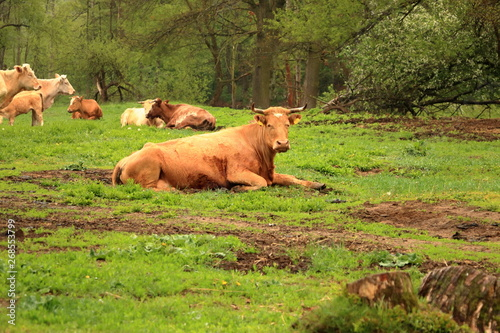 brown cows and cattle on rainy day