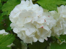 White Bloom From An Old-fashioned Snowball Bush