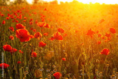 bright fiery poppy field in the rays of the sunset