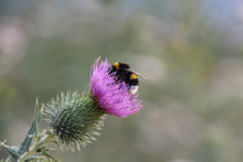 Bumblebee In A Thistle