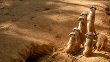 Group Of Funny Meerkats (surikate) In The Zoo In Barcelona.
