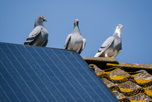 Three Beautiful Carrier Pigeons Flirt On The Ridge Of The Roof With Solar Panels