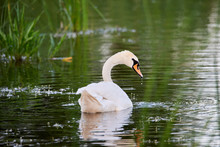 A Wild White Swan Swims On A L...