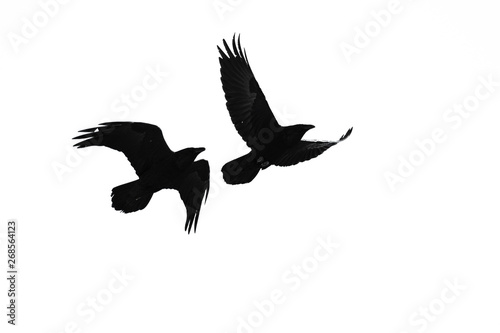 Two Flying Common Ravens Silhouetted on a White Background