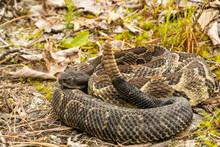 Timber Rattlesnake - Crotalus ...