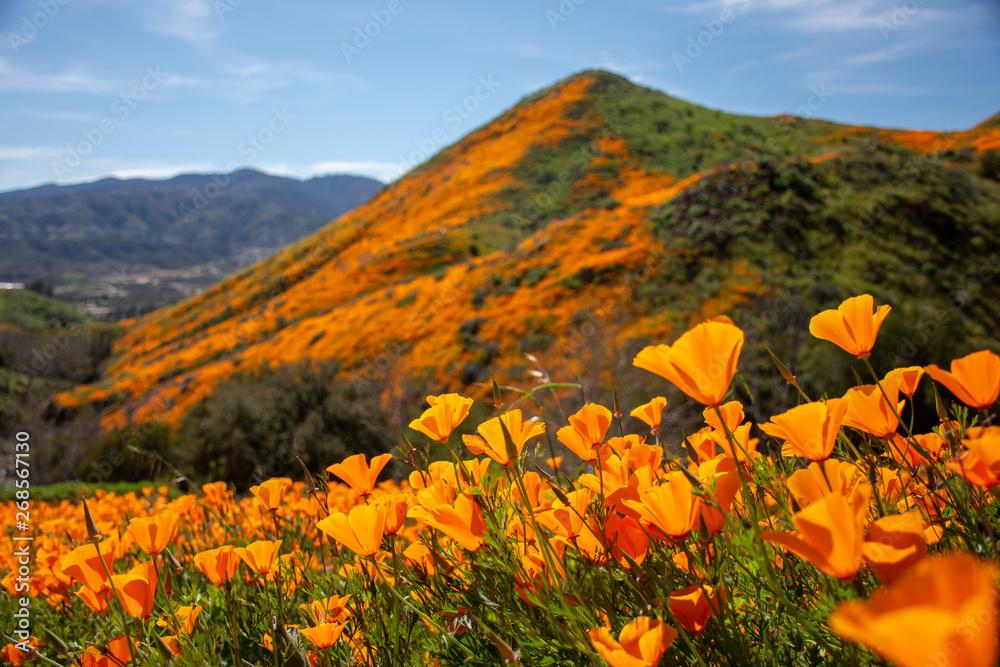 Fototapety, obrazy: Orange Poppy Super Bloom