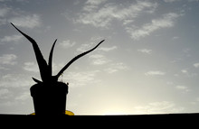 Silhouette Of An Aloe Vera Plant On A Vase Against Light Blue Sky With Small White Clouds (and Buildings) At Sunset Time.