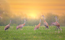 Sandhill Cranes In Field At Su...