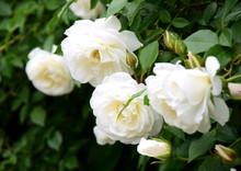 Weiße Rosen - Rosenbusch Im Park