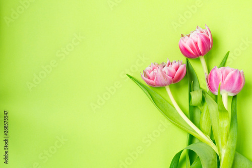 Fototapety, obrazy: Three pink tulip flowers lying on a green background.