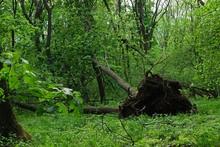 Fallen Sawyer Tree In Dense Br...