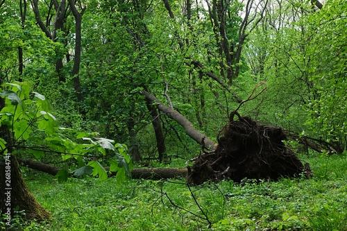 Fotografia, Obraz  Fallen sawyer tree in dense broadleaf forest in central Europe, during spring cloudy day