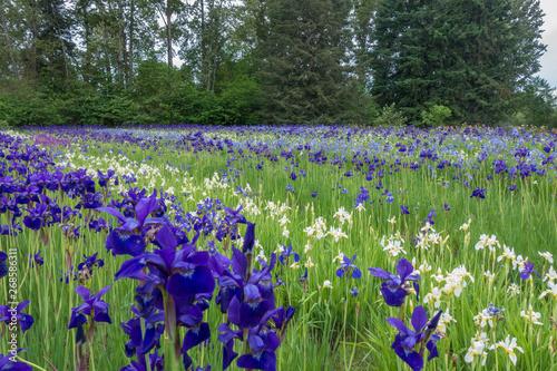 Iris flower garden