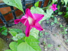 Dark Pink Morning Glory