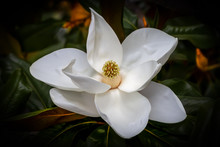 White Magnolia Flower Closeup Against A Dark Green And Orange Blurred Background