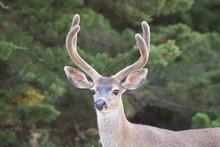 Large Black Tail Buck Deer In Velvet