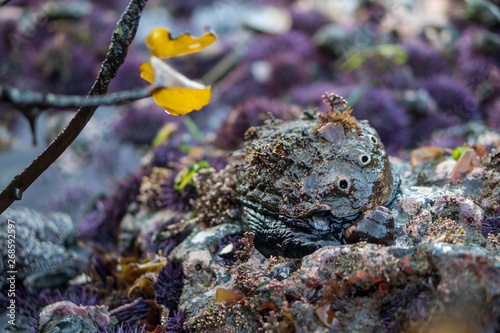Canvas Print low tide exposes abalone with sea life growing on its shell.