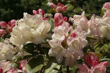 Rhododendron Bush With Pink Flowers And Buds