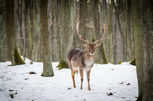 Fallow Deer In Snow Winter Forest