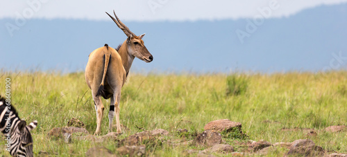 Elend antilope in the Kenyan savanna between the different plants