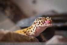 Leopard Gecko Living In Terrar...